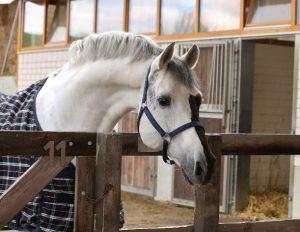 acorado-II-stallion