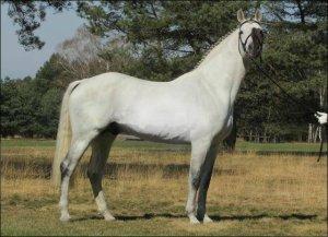 acoradoII-stallion