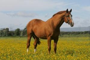 Scheda stallone: Ksar Sitte